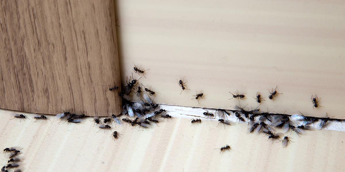 Pest - Ants
