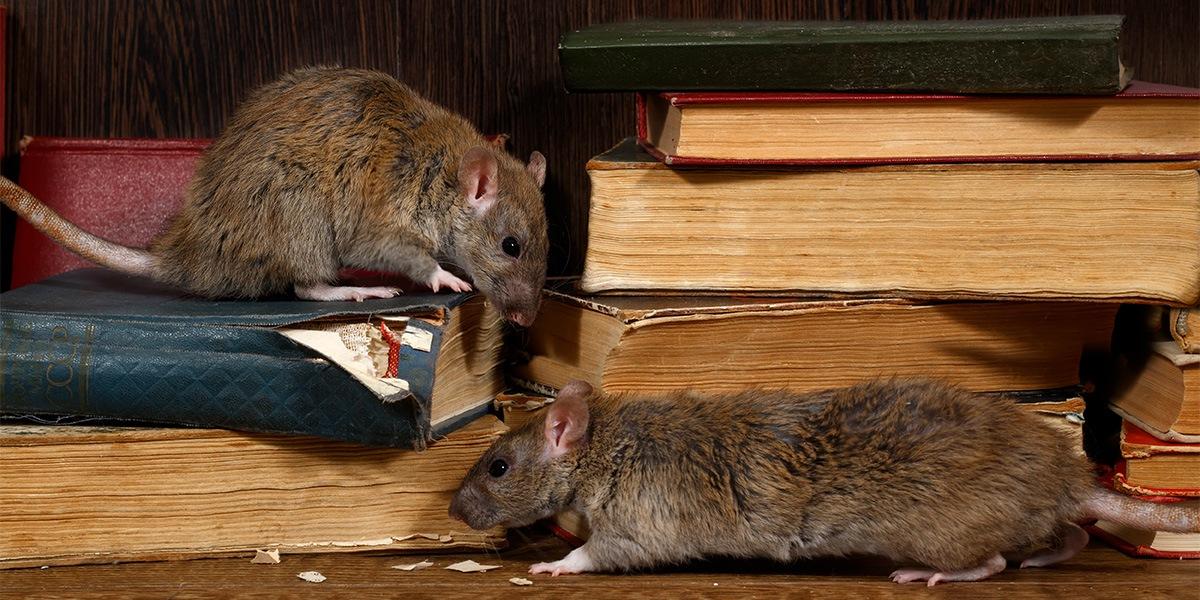 Pest - Rodent
